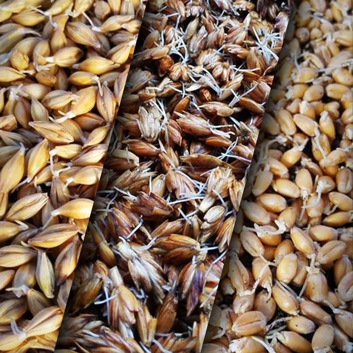 Saatgut Weizen, Dinkel und Gerste zum Eigenanbau